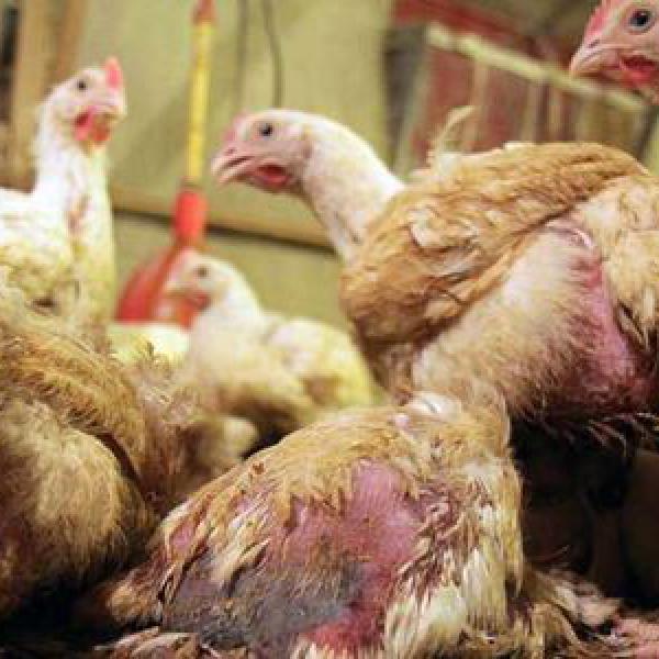 Hühner Vergiften